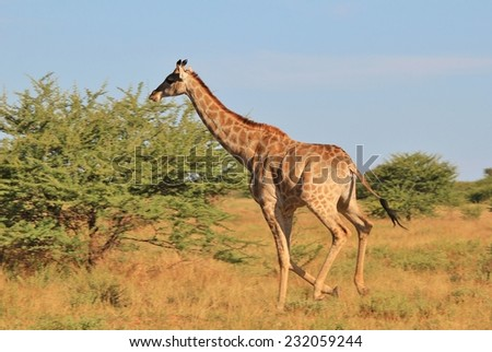 Giraffe - African Wildlife Background - Posture of an Iconic Animal Running for Life - stock photo