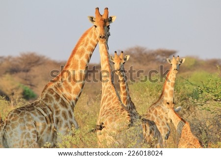 Giraffe - African Wildlife Background - Posture of Unique Pattern and Contour