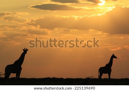 Giraffe - African Wildlife Background - Sunset Gold and Wonder in Nature