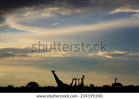 Giraffe - African Wildlife Background - Sunset Sky Silhouette and Iconic Nature - stock photo