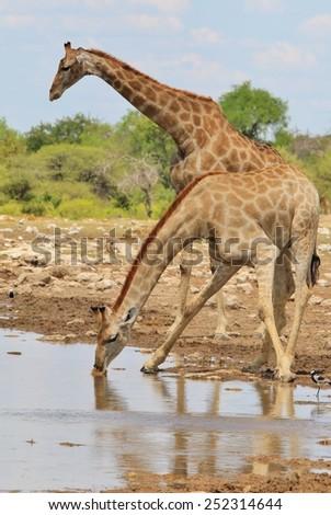 Giraffe - African Wildlife Background - Symmetry within Beautiful Nature - stock photo