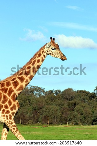 Giraffe against a blue sky - stock photo