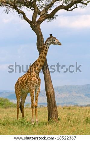 giraffe and a tree, masai mara, kenya - stock photo