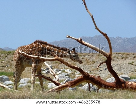 Giraffe and branches