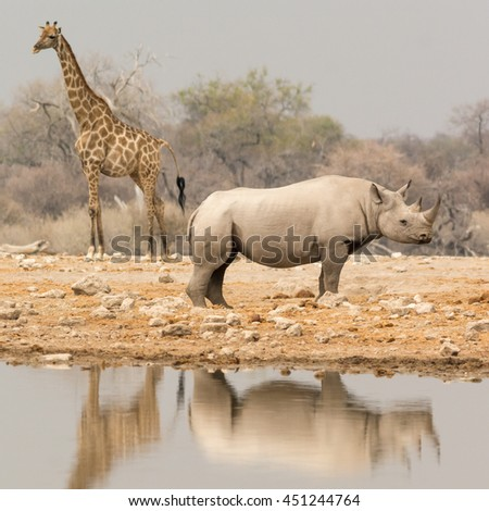 Giraffe and Rhino at waterhole, seen at safari tour through namibia, southern africa. - stock photo
