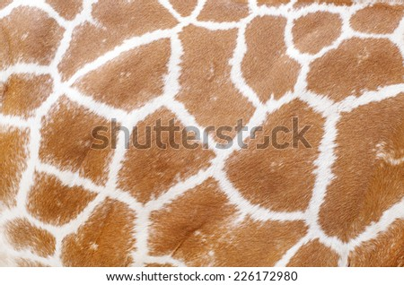 giraffe animal skin texture for your background and pattern - stock photo