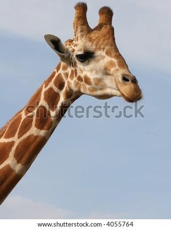 Giraffe at African Safari zoo - stock photo