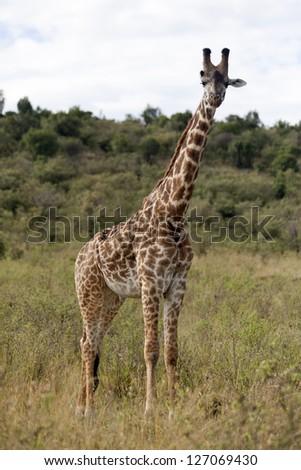 Giraffe at Masai Mara Game Reserve, Kenya - stock photo