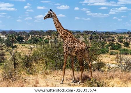 Giraffe at Serengeti National Park, Tanzania - stock photo