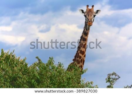 giraffe at the masai mara national park kenya - stock photo