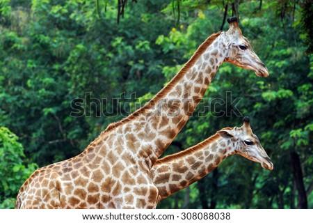 Giraffe at the zoo. - stock photo