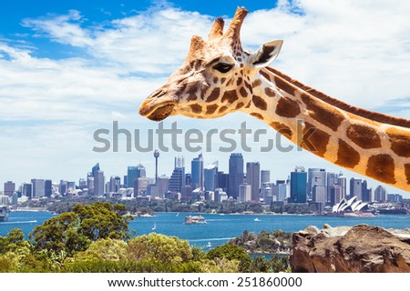 Giraffe at  Zoo, Sydney looks towards the financial district. Australia. - stock photo