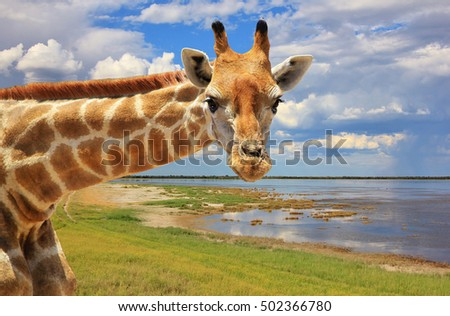 Giraffe Background - African Wildlife - Looking at Natures Wonders of Color