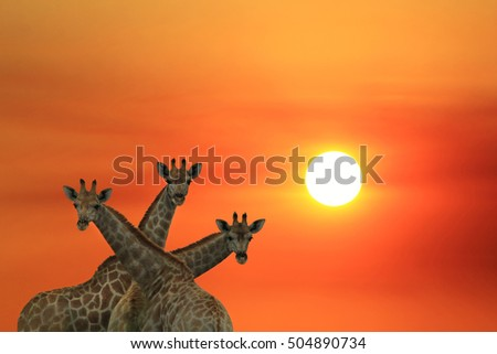 Giraffe Background - African Wildlife - Where the Sun turns Red