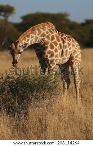 Giraffe bending to eat a low bush