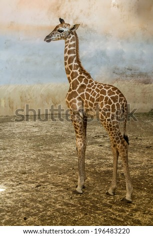giraffe, camelopard young animal - stock photo