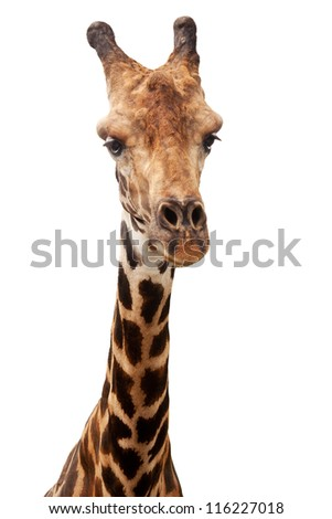 Giraffe, close up of animal head isolated against white background