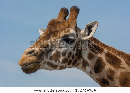 giraffe close up of head