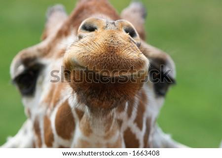 Giraffe closeup - stock photo