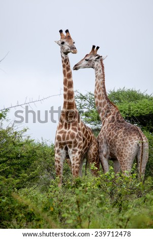 Giraffe couple. South Africa, Kruger National Park.