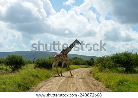 Giraffe crossing road in Kruger national park, animals of South Africa  - stock photo