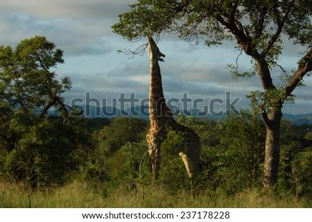 Giraffe: Determination - stock photo