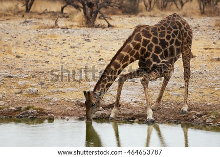 Giraffe drinking at a waterhole in Etosha National Park