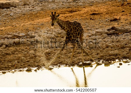 Giraffe drinking at dusk
