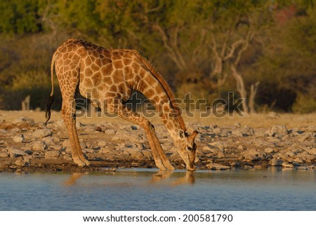 Giraffe drinking from waterhole in Etosha National Park, Namibia