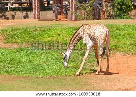 giraffe eat grass - stock photo