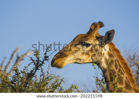 Giraffe eating at the tops of trees
