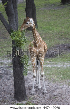 Giraffe eating branches placed on tree - stock photo