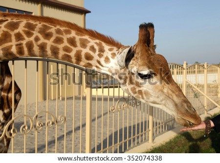 Giraffe eating corn from hands in zoo, selective focus - stock photo