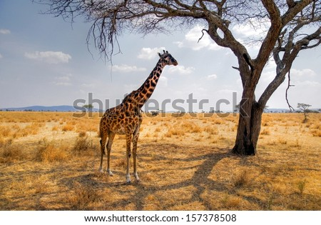 giraffe eating from a tree in a gorgeous landscape in Africa - stock photo