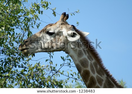 Giraffe eating leaves on tree - stock photo