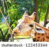 Giraffe eating twigs - stock photo