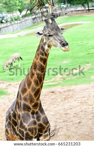 Giraffe eats food from tourists in open zoo.
