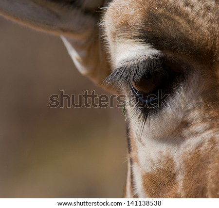 Giraffe Eye - stock photo