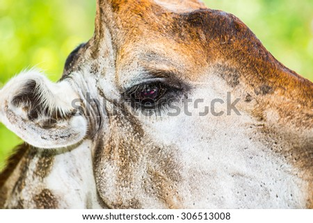 Giraffe eye, Thailand. - stock photo