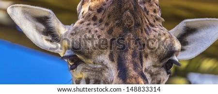 Giraffe Eyes and Ears - stock photo