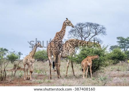 Giraffe family in Kruger national park, South Africa ; Specie Giraffa camelopardalis family of Giraffidae - stock photo