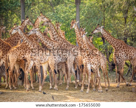 giraffe family in the zoo - stock photo