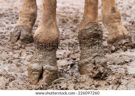 Giraffe foots with mud - stock photo