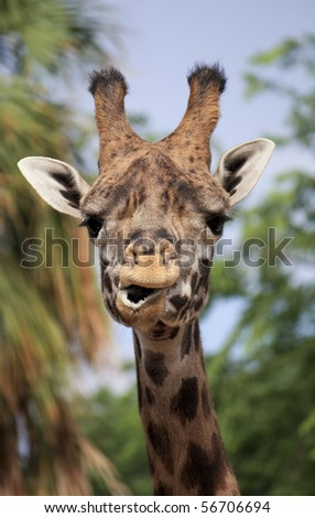 giraffe funny ape snout - stock photo