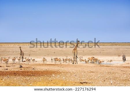 Giraffe, Gemsbok Oryx zebra and springbok next to a waterhole in Etosha National park - stock photo