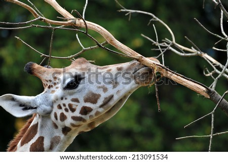 Giraffe (Giraffa camelopardalis) - stock photo