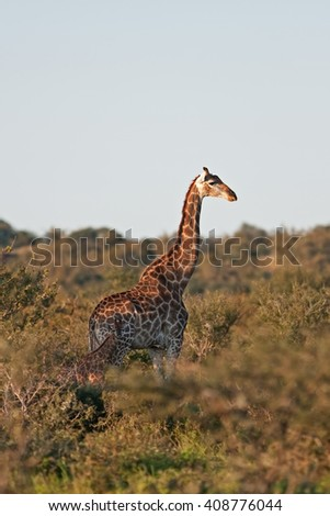 Giraffe, Giraffa camelopardalis - stock photo