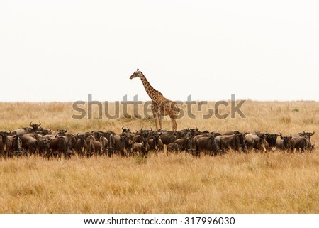 Giraffe (Giraffa camelopardalis) and a herd of wildebeest in dry African savanna. Wildlife observation and conservation, tourist safari, animals in the wild concept.  - stock photo