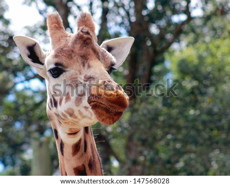 Giraffe ( Giraffa camelopardalis) close up