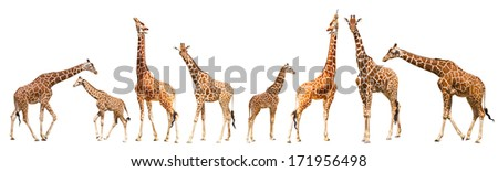 Giraffe (Giraffa camelopardalis), isolated on white background Portrait of a giraffe isolated on white background   - stock photo